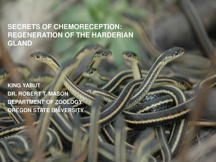 secrets of chemoreception regeneration of the harderian gland
