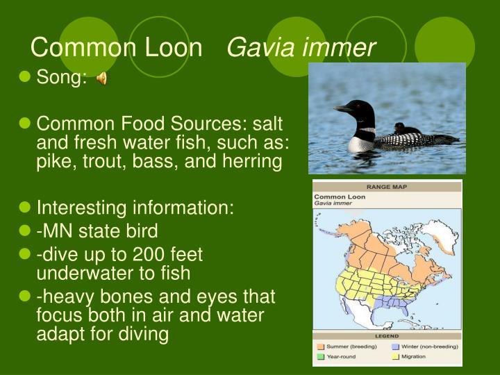Common loon gavia immer