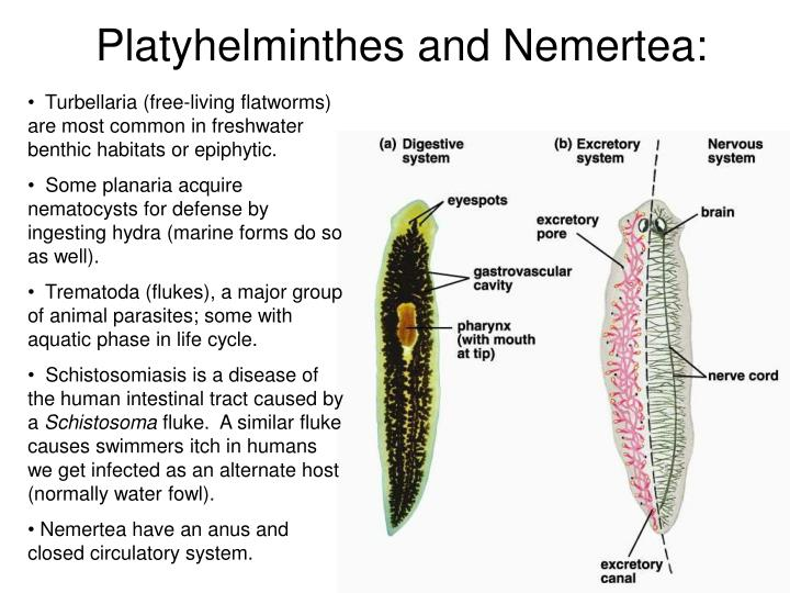 Platyhelminthes and Nemertea: