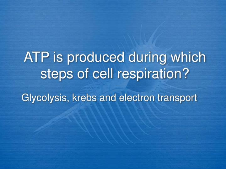 ATP is produced during which  steps of cell respiration?