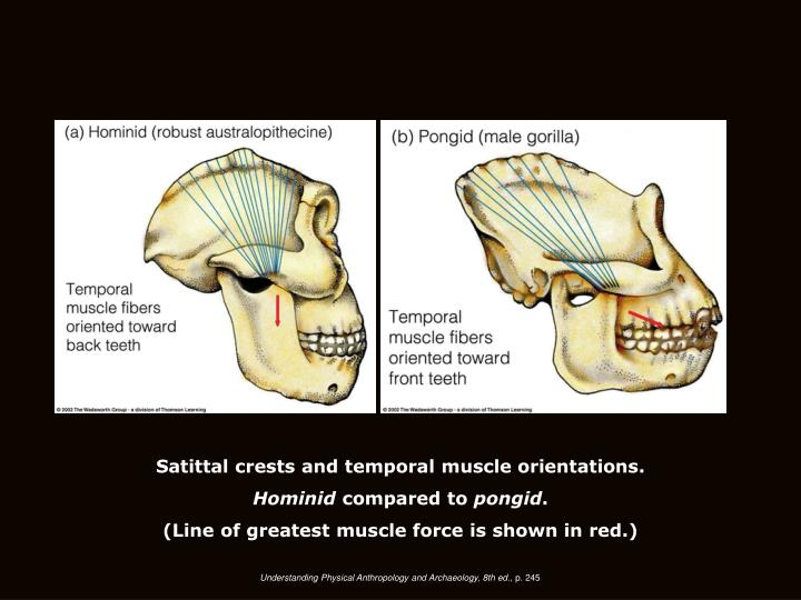Satittal crests and temporal muscle orientations.