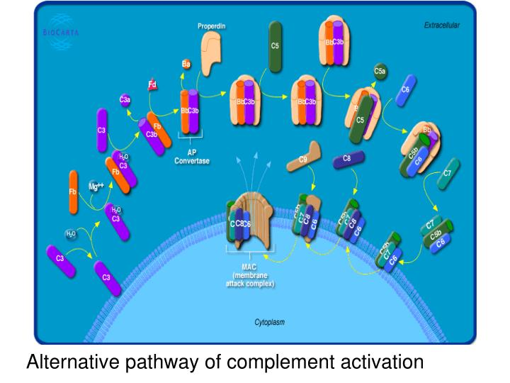 Alternative pathway of complement activation