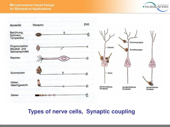 Types of nerve cells,  Synaptic coupling