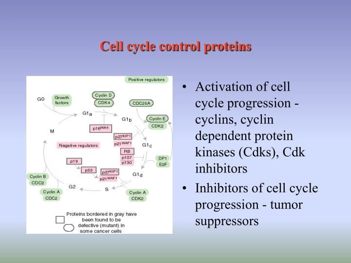 Cell cycle control proteins