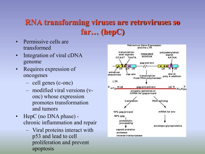 RNA transforming viruses are retroviruses so far… (hepC)