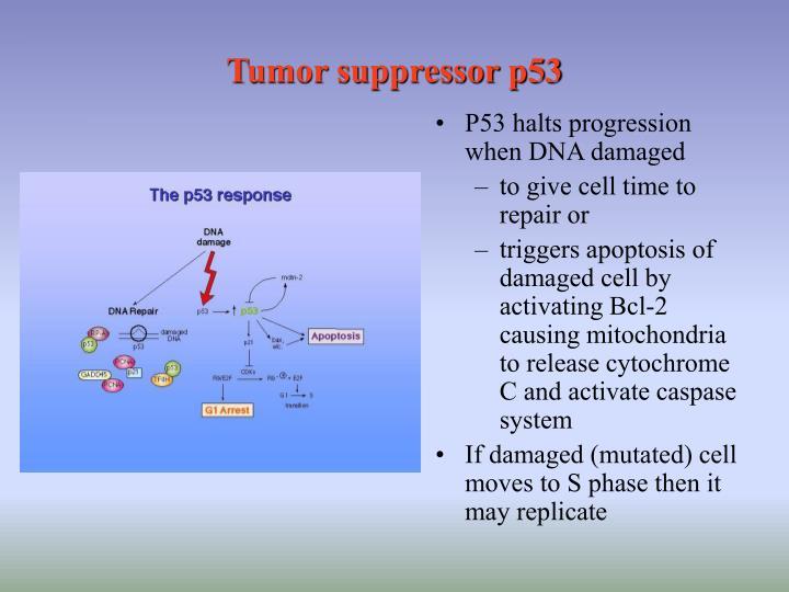 Tumor suppressor p53