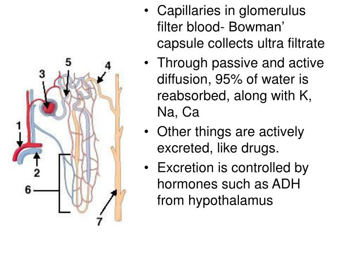Capillaries in glomerulus filter blood- Bowman' capsule collects ultra filtrate