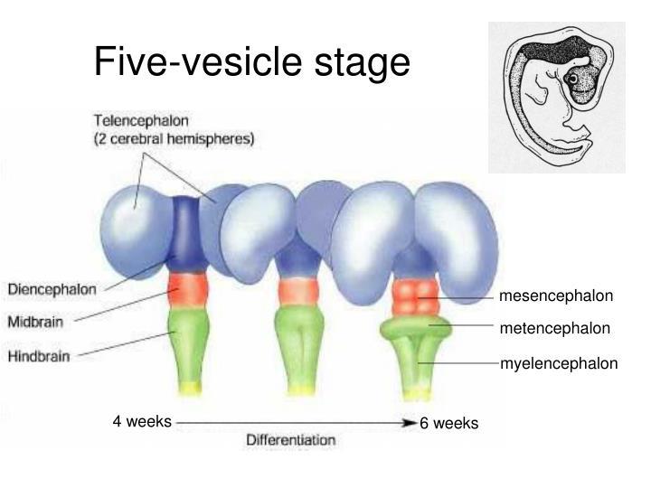 PPT - Prenatal Brain Development and Organization ...