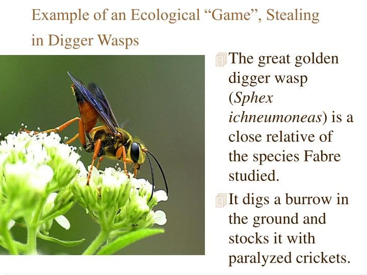 """Example of an Ecological """"Game"""", Stealing in Digger Wasps"""
