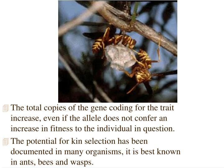 The total copies of the gene coding for the trait increase, even if the allele does not confer an increase in fitness to the individual in question.
