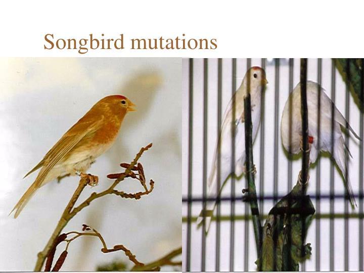 Songbird mutations