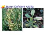 boron deficient alfalfa