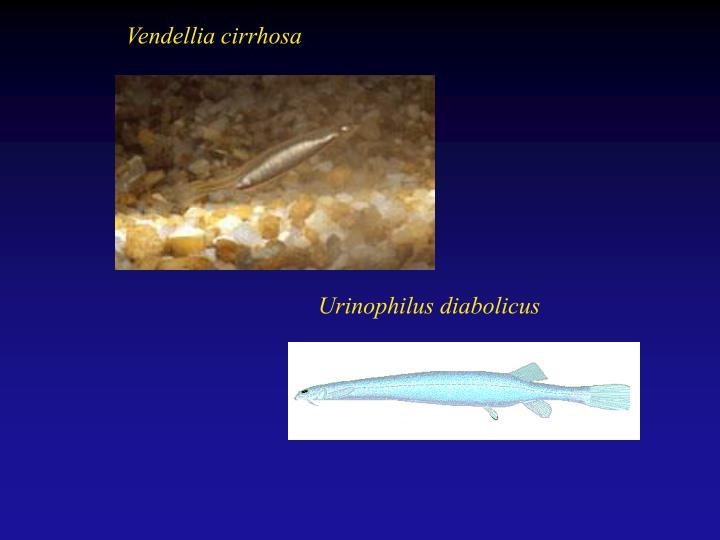 Vendellia cirrhosa