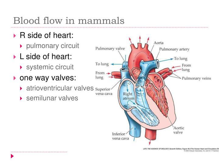 Blood flow in mammals