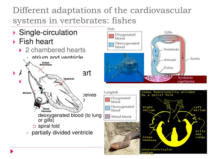 Different adaptations of the cardiovascular systems in vertebrates: fishes