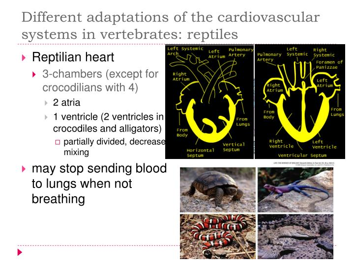 Different adaptations of the cardiovascular systems in vertebrates: reptiles