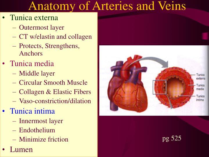 Anatomy of Arteries and Veins