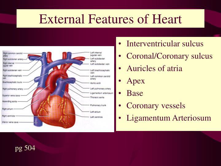 External Features of Heart
