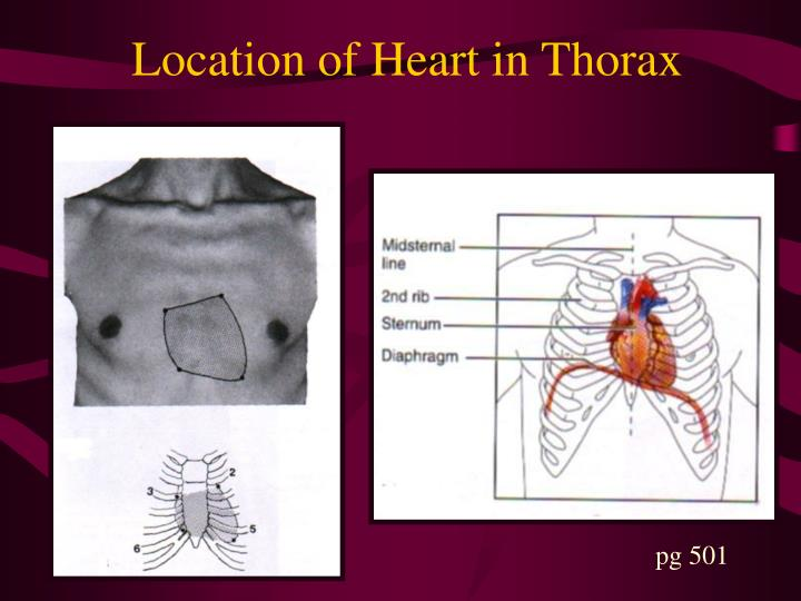 Location of Heart in Thorax