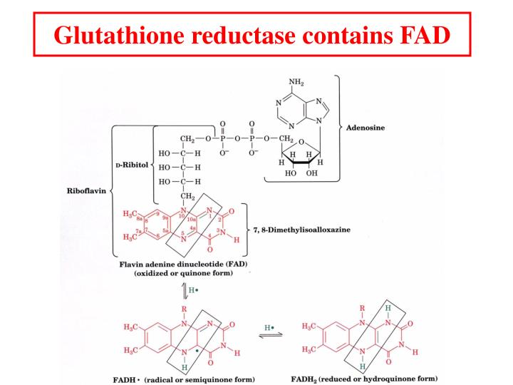 Glutathione reductase contains FAD