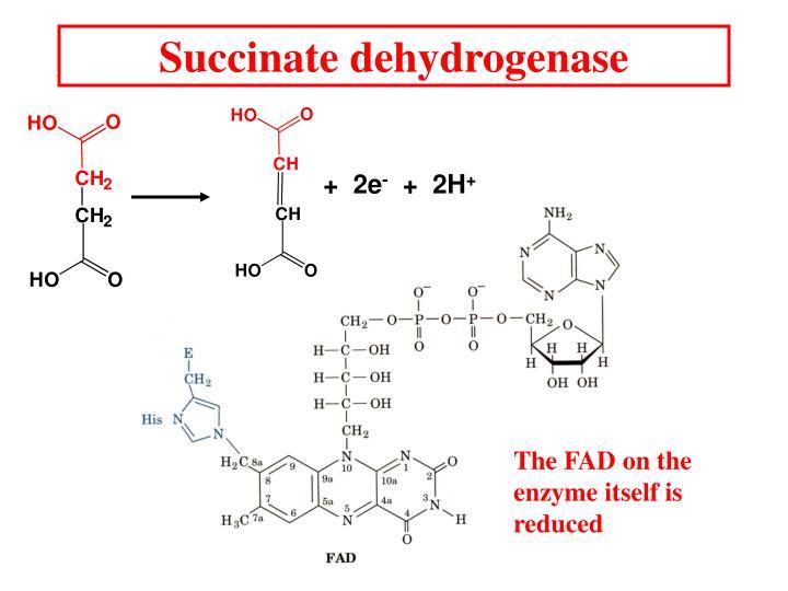 Succinate dehydrogenase