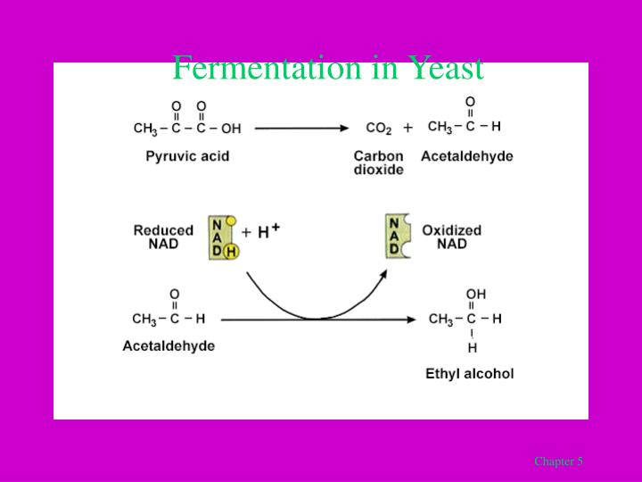 Fermentation in Yeast