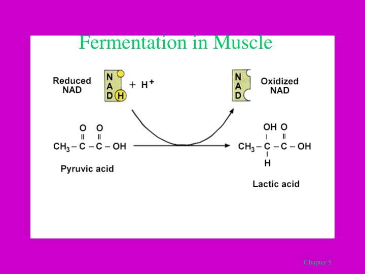 Fermentation in Muscle