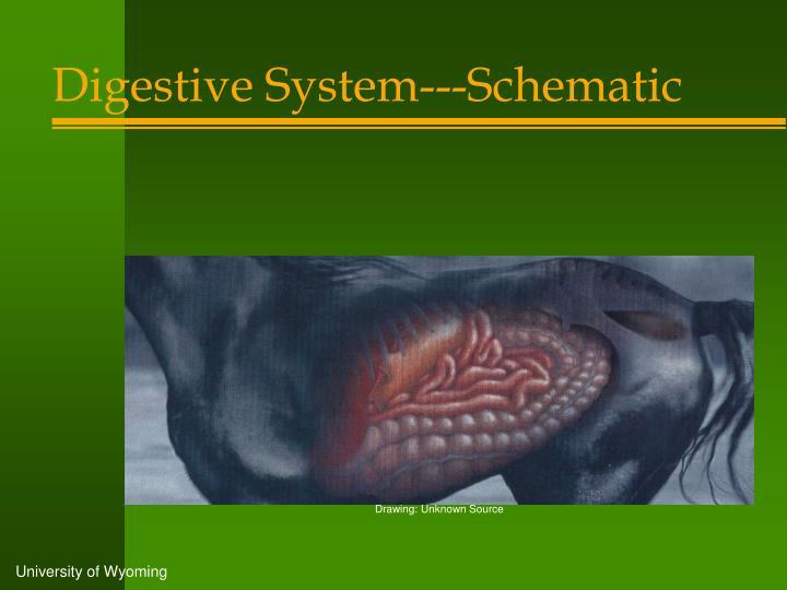 Digestive System---Schematic