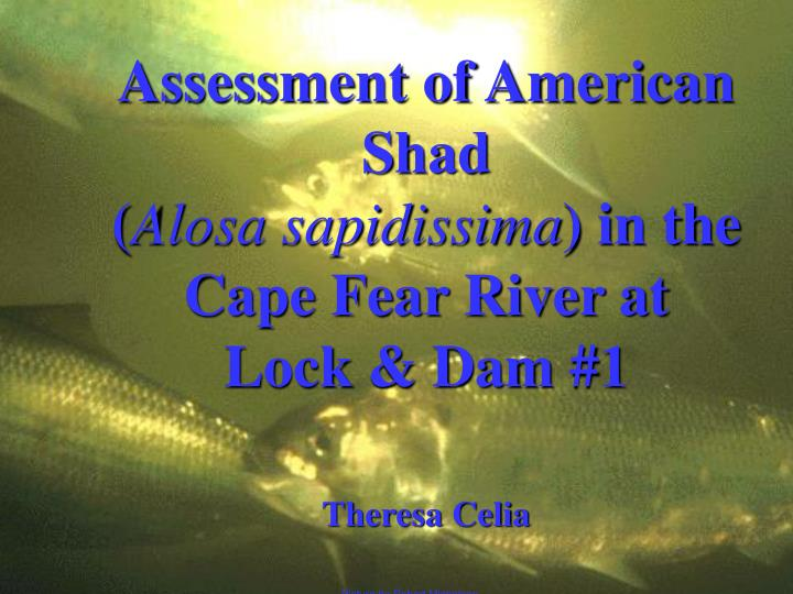 Assessment of American Shad