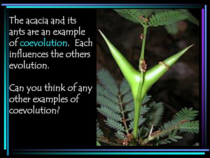 The acacia and its