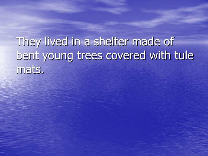They lived in a shelter made of bent young trees covered with tule mats.