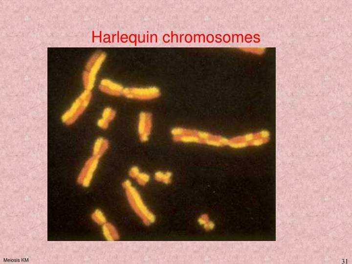 Harlequin chromosomes