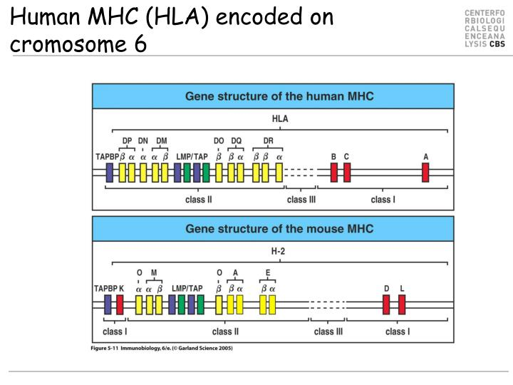 Human MHC (HLA) encoded on cromosome 6