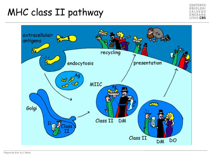 MHC class II pathway