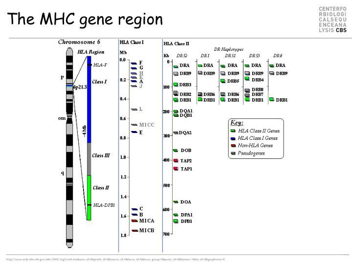 The MHC gene region