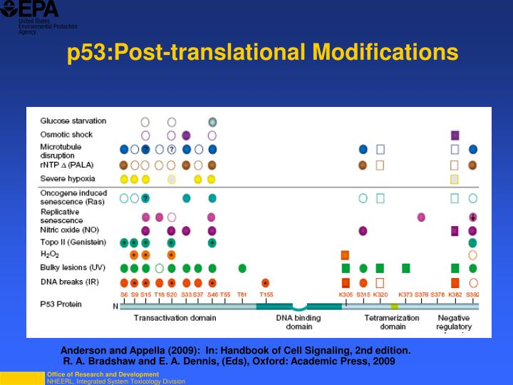 p53:Post-translational Modifications