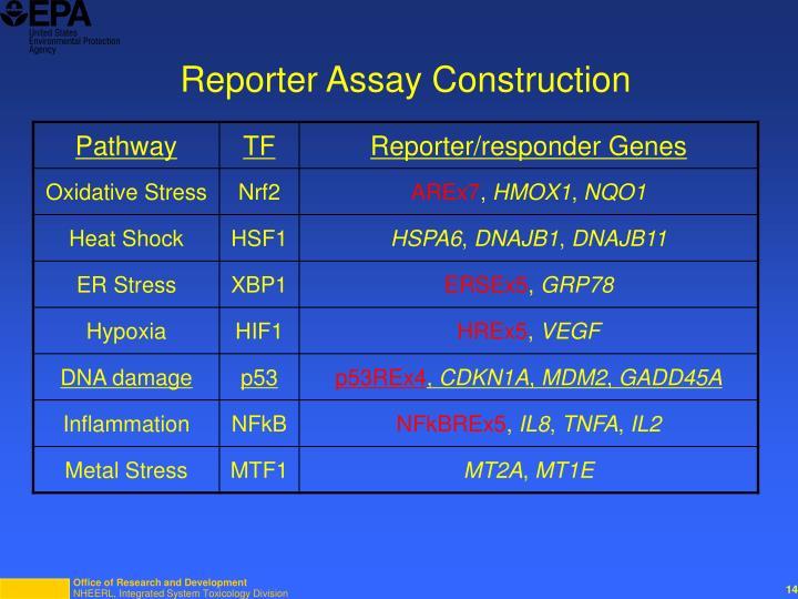 Reporter Assay Construction