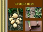 modified roots