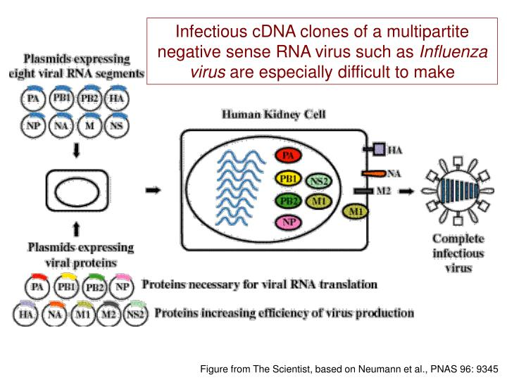 Infectious cDNA clones of a multipartite negative sense RNA virus such as