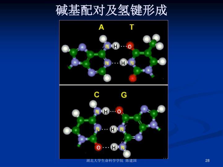 碱基配对及氢键形成