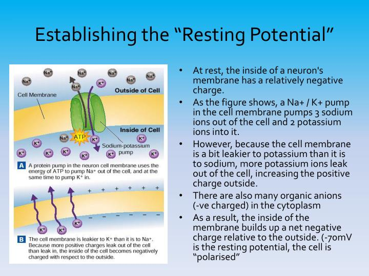"Establishing the ""Resting Potential"""