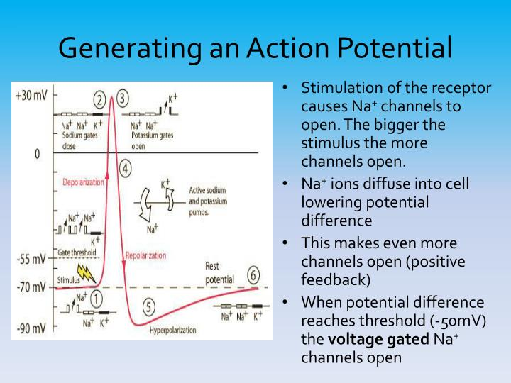 Generating an Action Potential