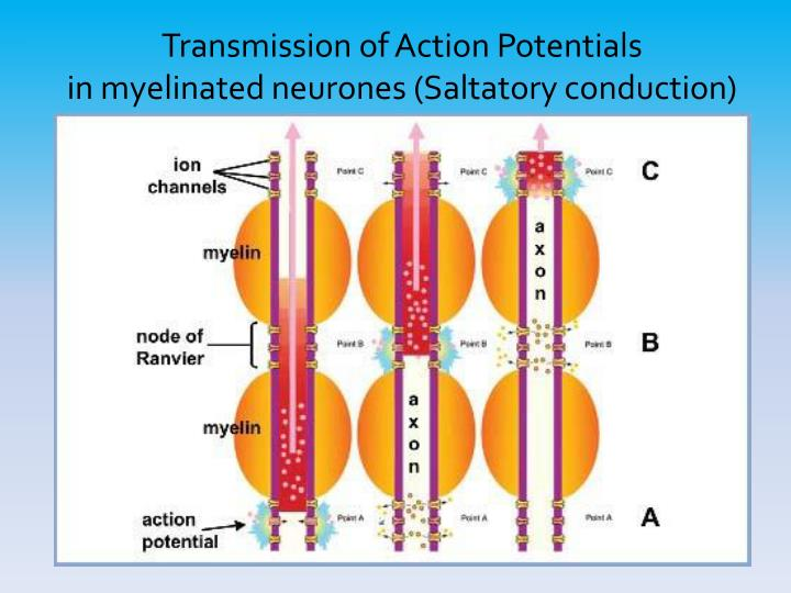 Transmission of Action Potentials