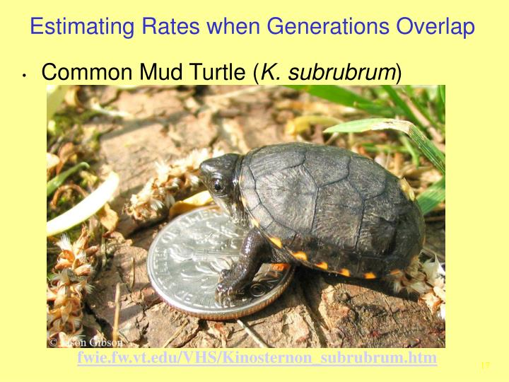 Common Mud Turtle (