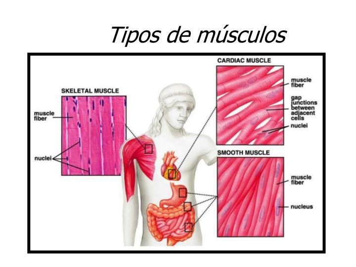 Perfecto Tipos De Músculos Imágenes - Anatomía de Las Imágenesdel ...