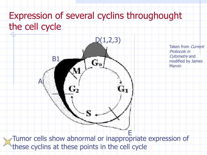 Expression of several cyclins throughought the cell cycle