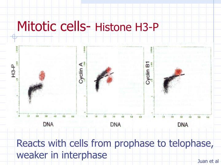 Mitotic cells-