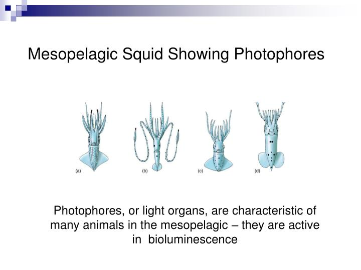 Mesopelagic Squid Showing Photophores