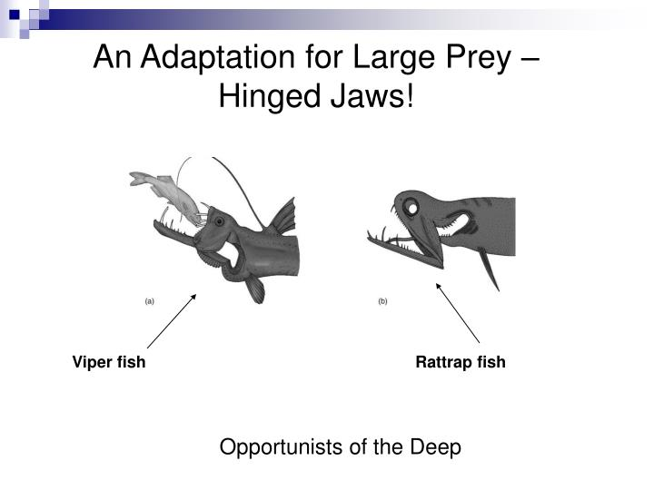 An Adaptation for Large Prey – Hinged Jaws!