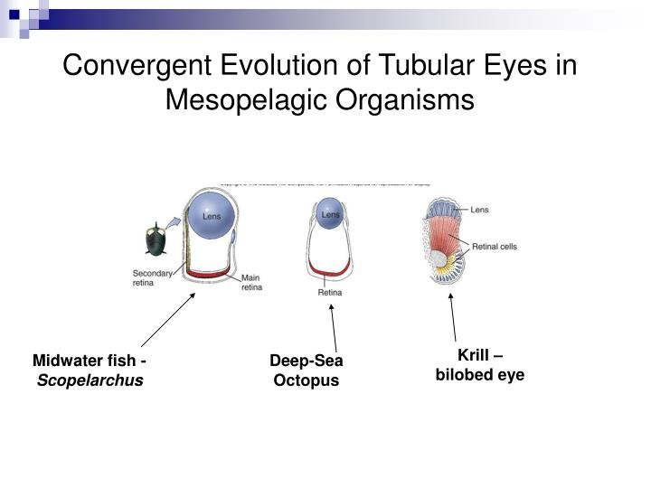 Convergent Evolution of Tubular Eyes in Mesopelagic Organisms